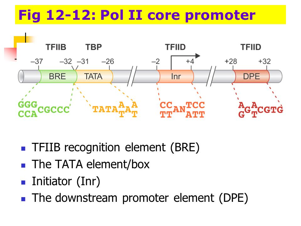 Fore elements in core promoter BRE : the TFIIB recognition element The TATA element Inr : the initiator DPE: the downstream promoter Generally, a promoter includes only two or three of these four elements.