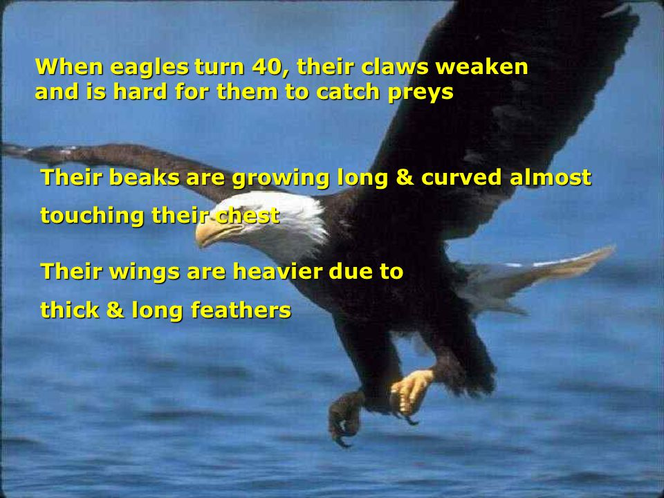 When eagles turn 40, their claws weaken and is hard for them to catch preys Their beaks are growing long & curved almost touching their chest Their wings are heavier due to thick & long feathers