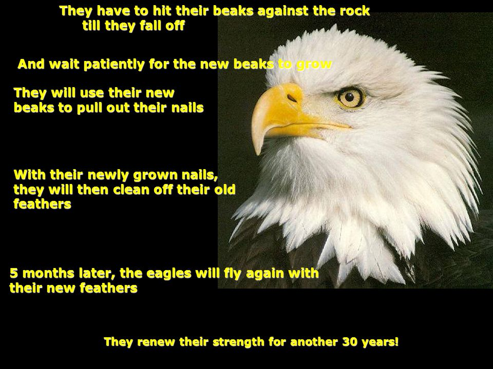 With their newly grown nails, they will then clean off their old feathers 5 months later, the eagles will fly again with their new feathers They have to hit their beaks against the rock till they fall off They will use their new beaks to pull out their nails And wait patiently for the new beaks to grow They renew their strength for another 30 years!