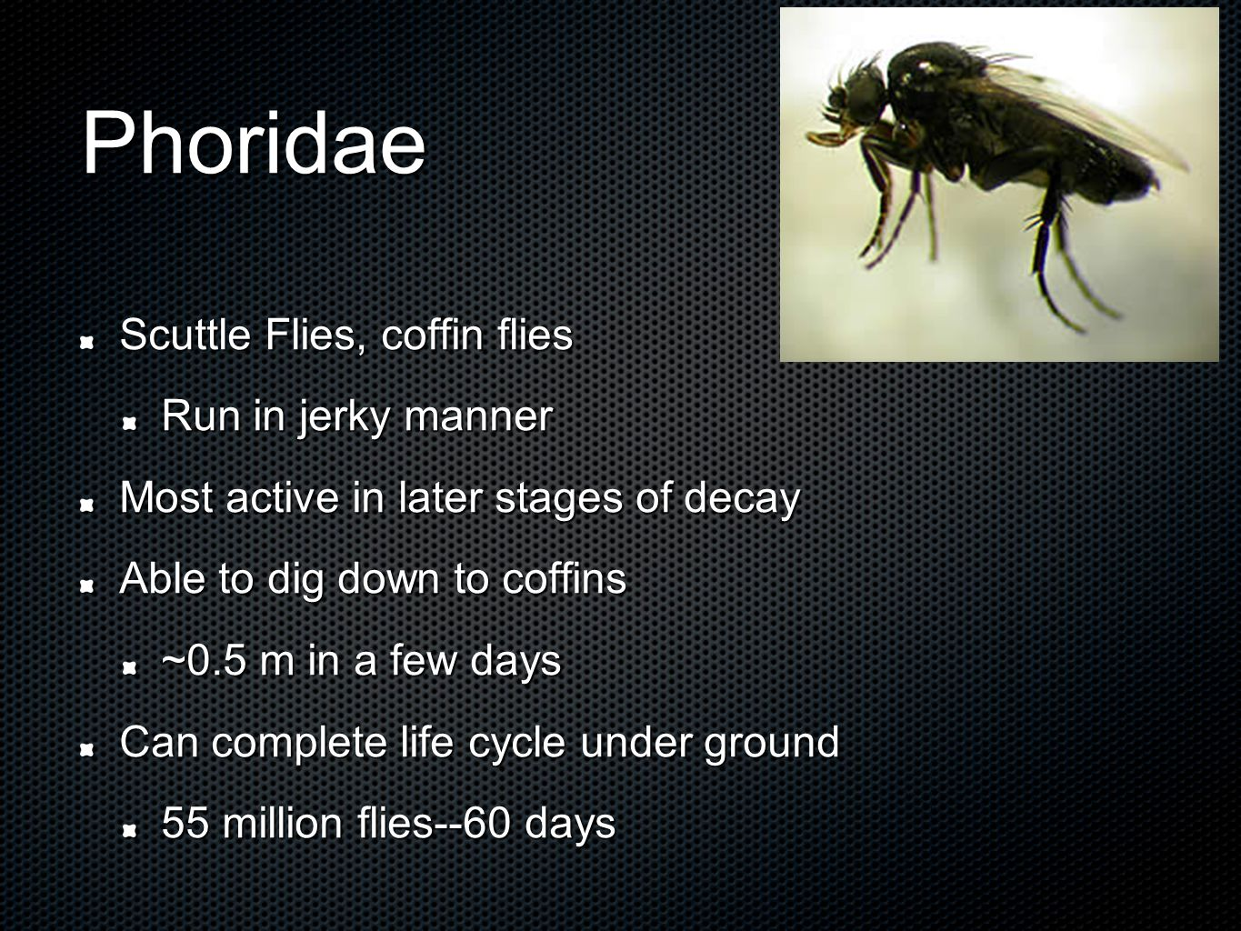 Phoridae Scuttle Flies, coffin flies Run in jerky manner Most active in later stages of decay Able to dig down to coffins ~0.5 m in a few days Can complete life cycle under ground 55 million flies--60 days