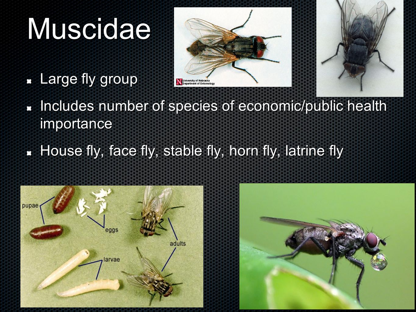 Muscidae Large fly group Includes number of species of economic/public health importance House fly, face fly, stable fly, horn fly, latrine fly