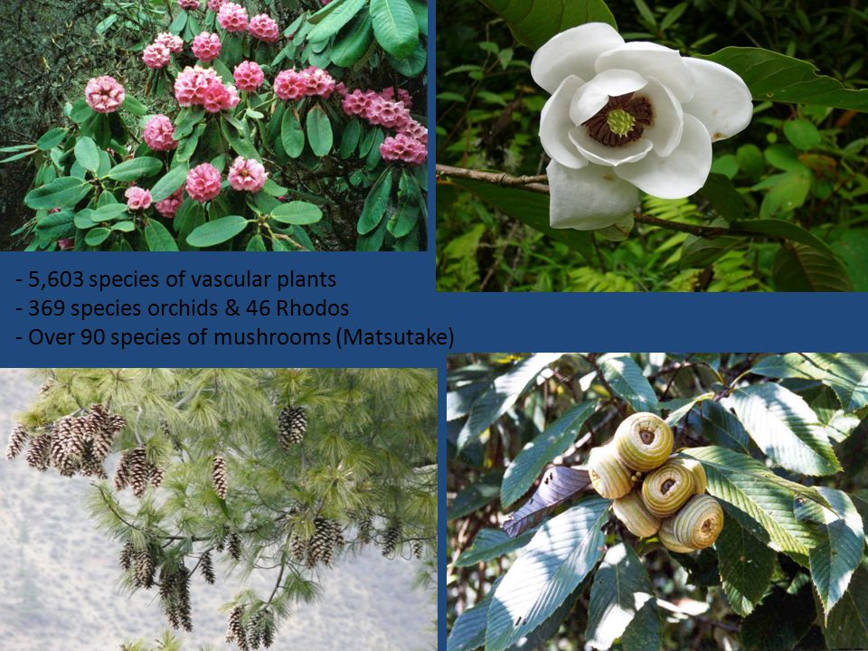 - 5,603 species of vascular plants - 369 species orchids & 46 Rhodos - Over 90 species of mushrooms (Matsutake)