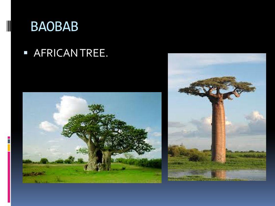 BAOBAB  AFRICAN TREE.