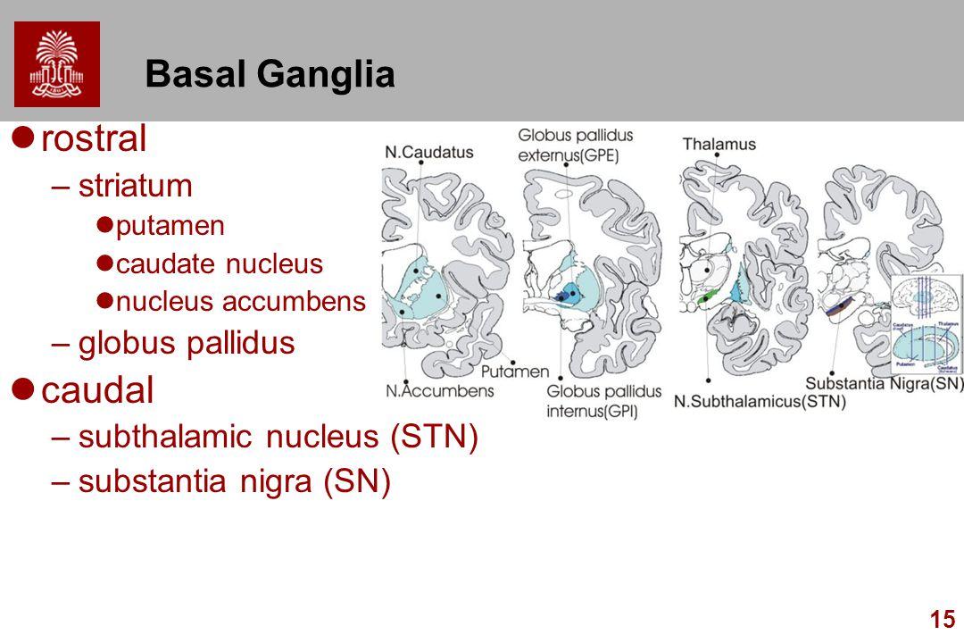 15 Basal Ganglia rostral –striatum putamen caudate nucleus nucleus accumbens –globus pallidus caudal –subthalamic nucleus (STN) –substantia nigra (SN)