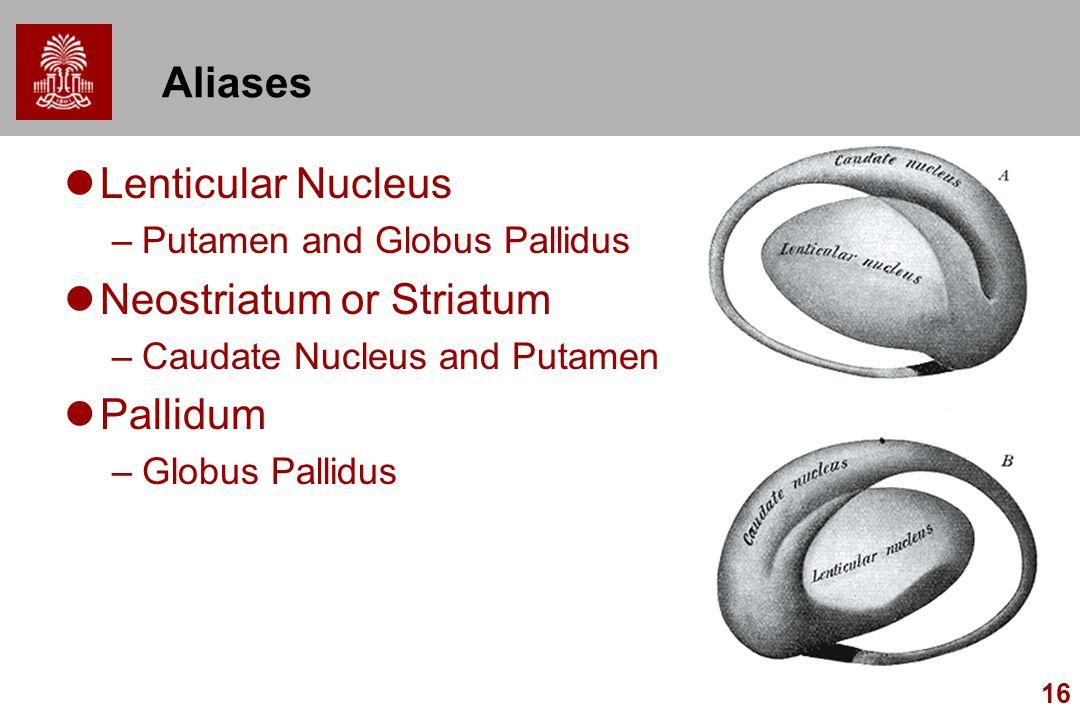 16 Aliases Lenticular Nucleus –Putamen and Globus Pallidus Neostriatum or Striatum –Caudate Nucleus and Putamen Pallidum –Globus Pallidus