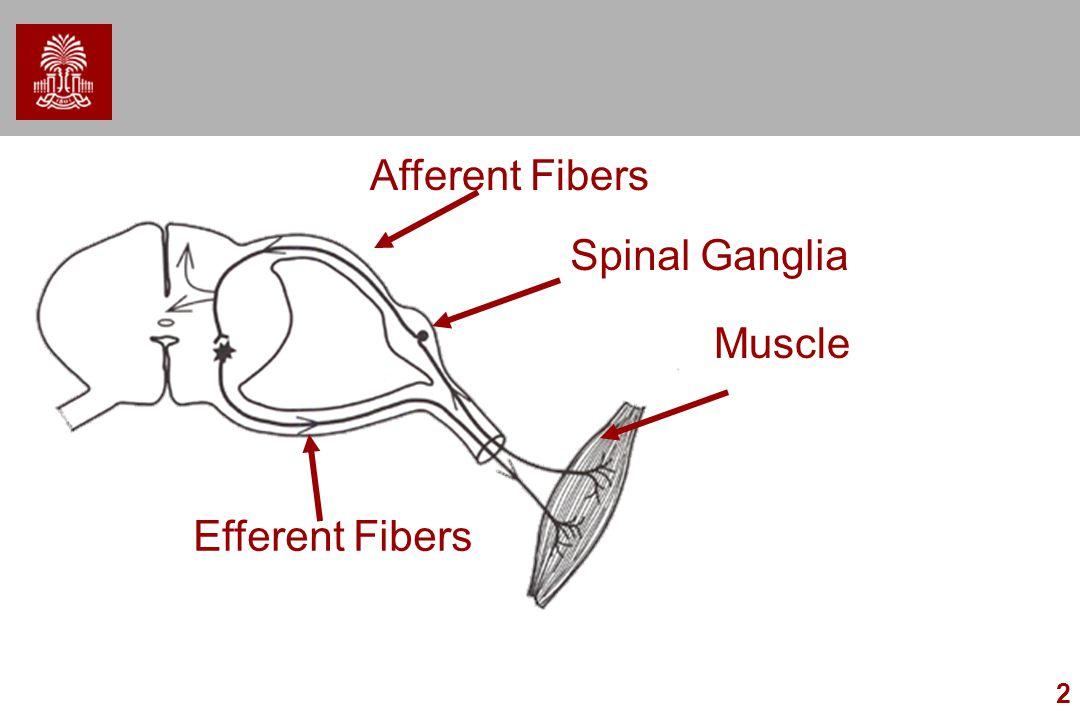 2 Muscle Efferent Fibers Afferent Fibers Spinal Ganglia