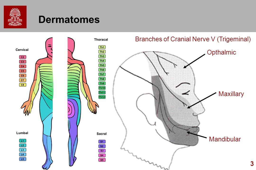 3 Dermatomes Opthalmic Mandibular Maxillary Branches of Cranial Nerve V (Trigeminal)