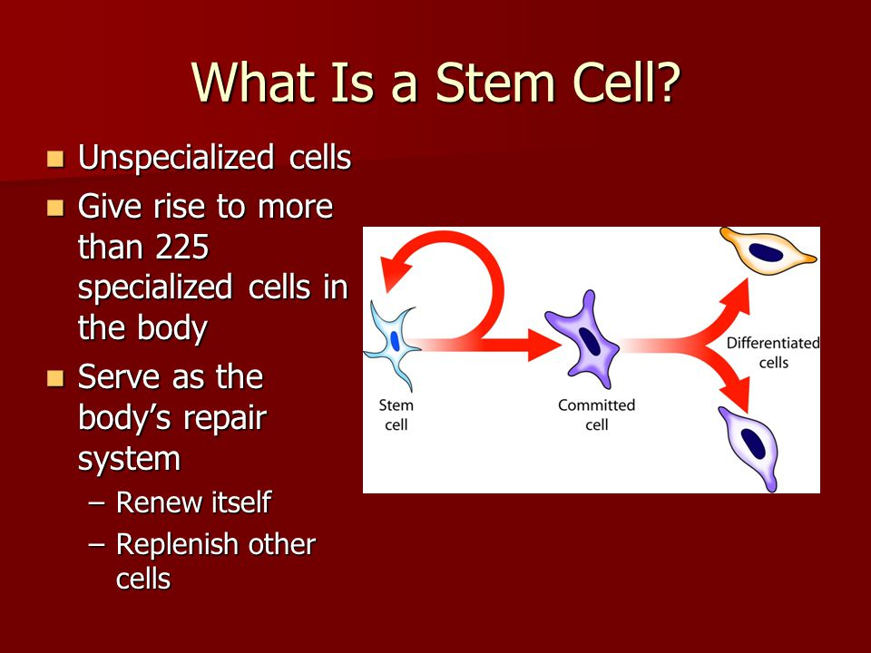 What Is a Stem Cell? Unspecialized cells Unspecialized cells Give rise to more than 225 specialized cells in the body Give rise to more than 225 speci