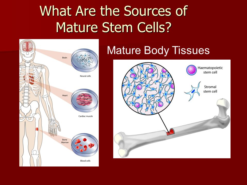What Are the Sources of Mature Stem Cells? Mature Body Tissues