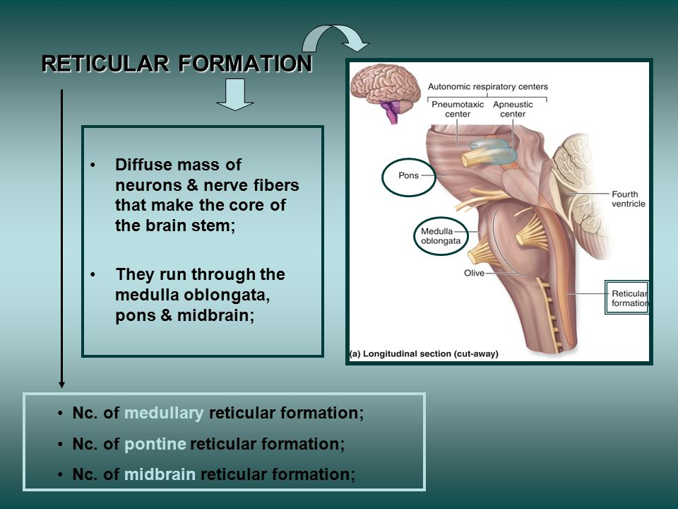 RETICULAR FORMATION Diffuse mass of neurons & nerve fibers that make the core of the brain stem; They run through the medulla oblongata, pons & midbrain; Nc.