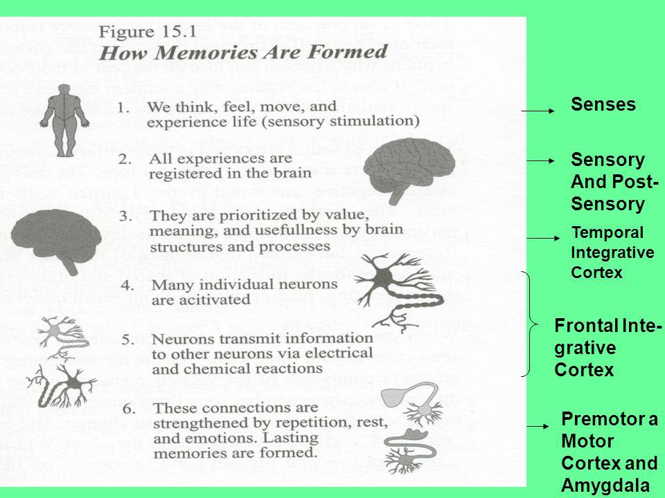 Senses Sensory And Post- Sensory Temporal Integrative Cortex Frontal Inte- grative Cortex Premotor a Motor Cortex and Amygdala