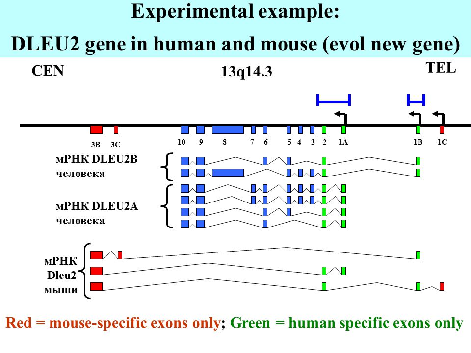 Experimental example: DLEU2 gene in human and mouse (evol new gene) Red = mouse-specific exons only; Green = human specific exons only