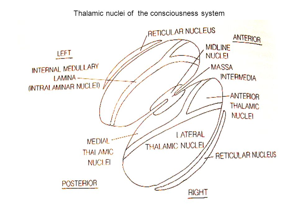 Thalamic nuclei of the consciousness system