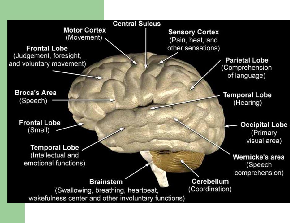 Brain A & P: Brain Anatomy Ventricles of the Brain