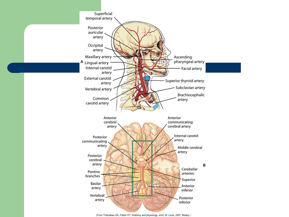 Flow of CSF: Produced by filtration of the blood by the choroid plexus of each ventricle flows inferiorly through the lateral ventricles, intraventricular foramen, third ventricle, cerebral aqueduct, fourth ventricle and subarachnoid space and to the blood.