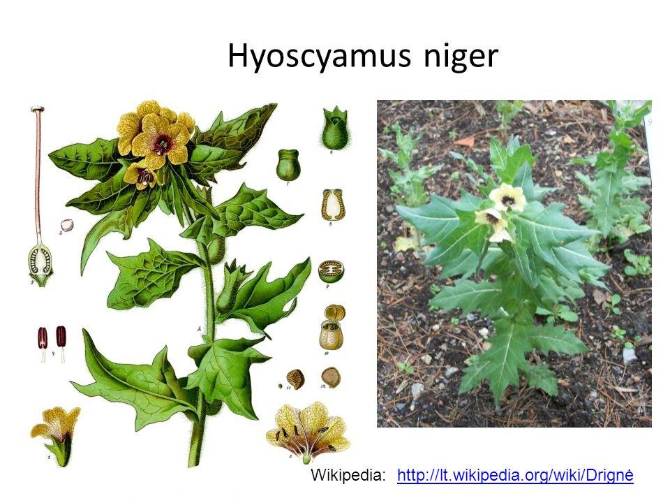 Hyoscyamus niger Wikipedia: http://lt.wikipedia.org/wiki/Drignėhttp://lt.wikipedia.org/wiki/Drignė
