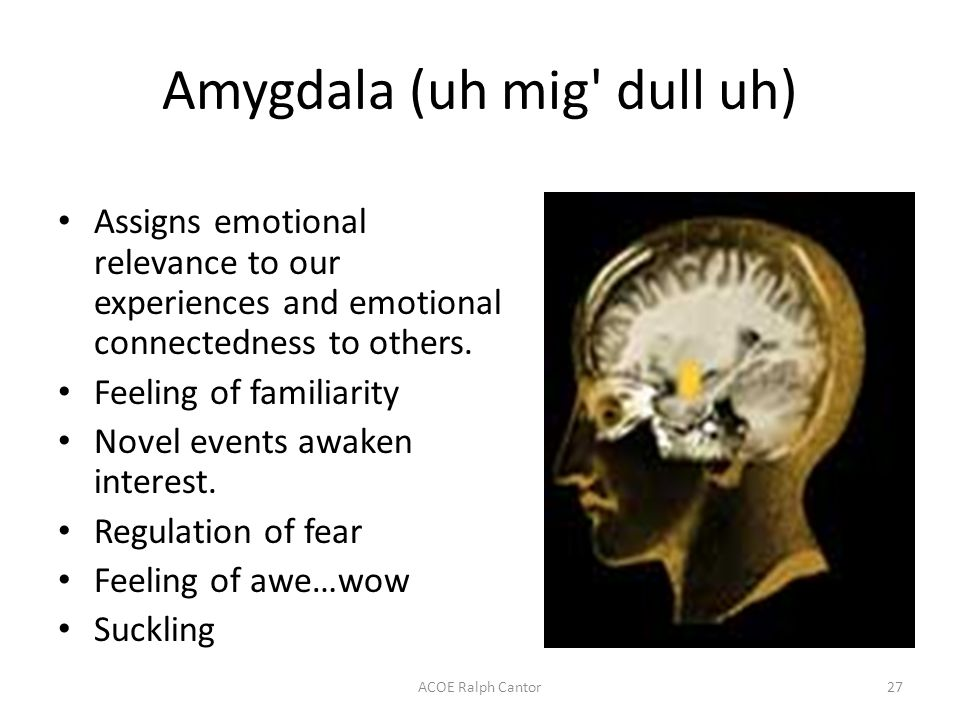 ACOE Ralph Cantor27 Amygdala (uh mig dull uh) Assigns emotional relevance to our experiences and emotional connectedness to others.