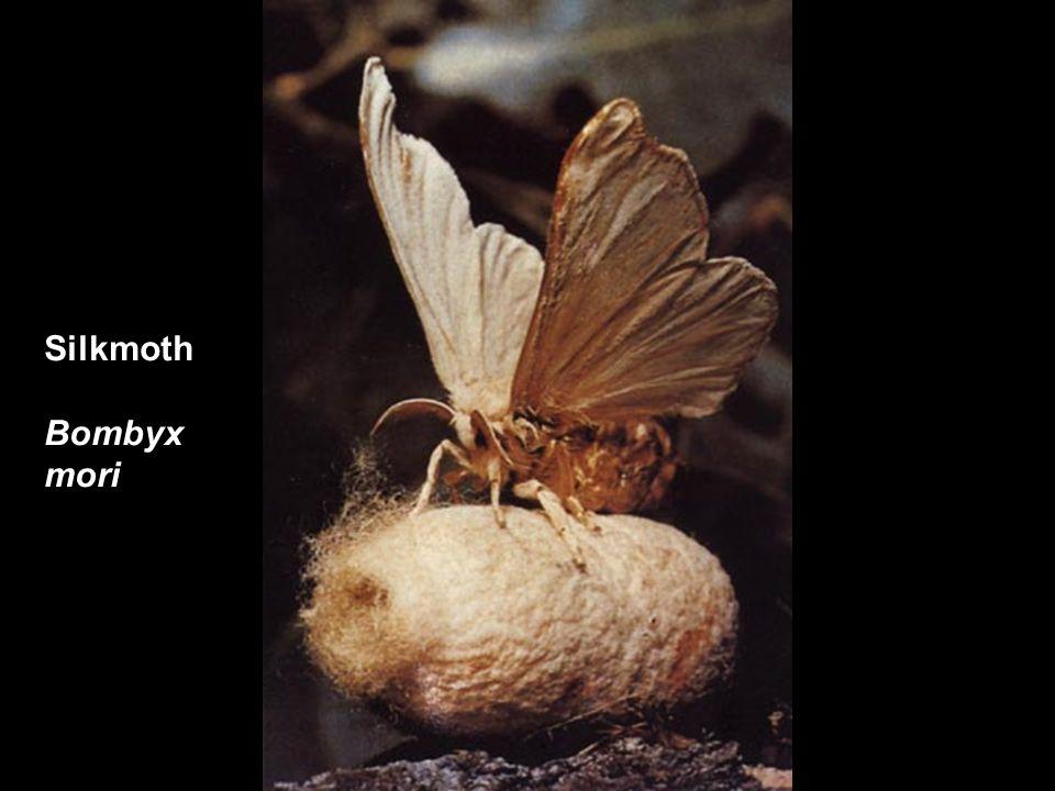 Silkmoth Bombyx mori