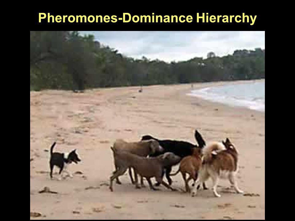 Pheromones-Dominance Hierarchy