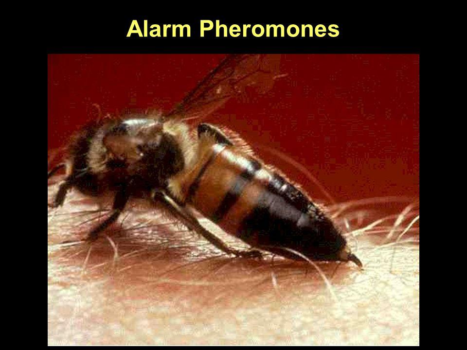 Alarm Pheromones