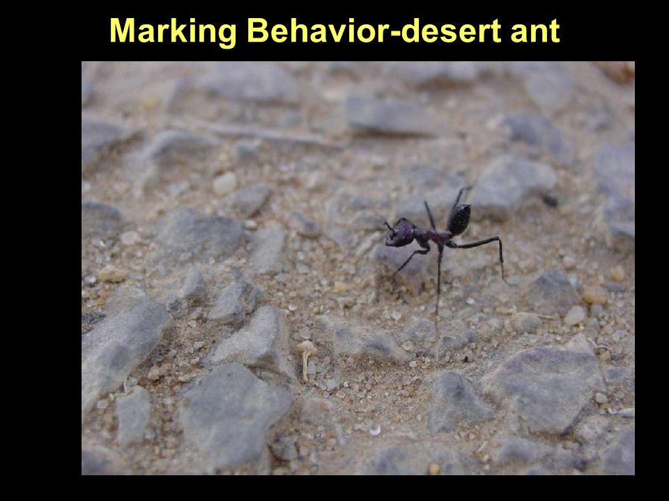 Marking Behavior-desert ant