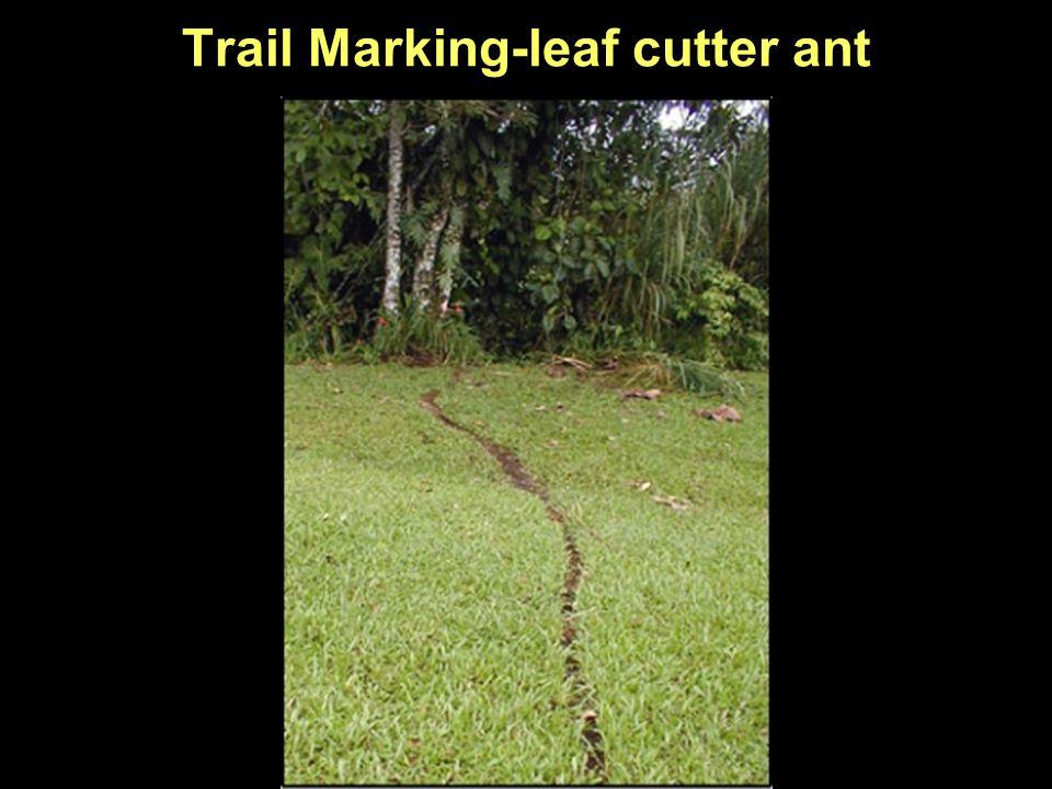 Trail Marking-leaf cutter ant