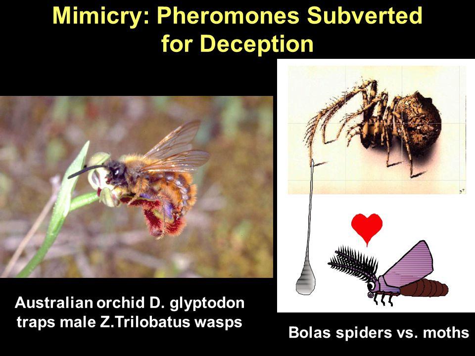 Mimicry: Pheromones Subverted for Deception Australian orchid D. glyptodon traps male Z.Trilobatus wasps Bolas spiders vs. moths