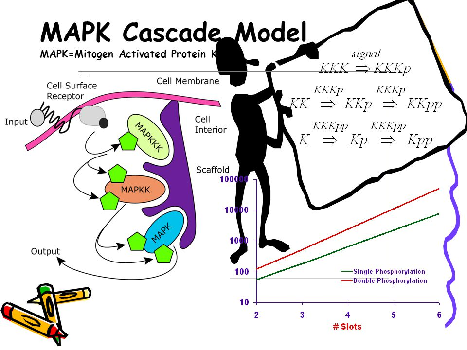 MAPK Cascade Model MAPK=Mitogen Activated Protein Kinase