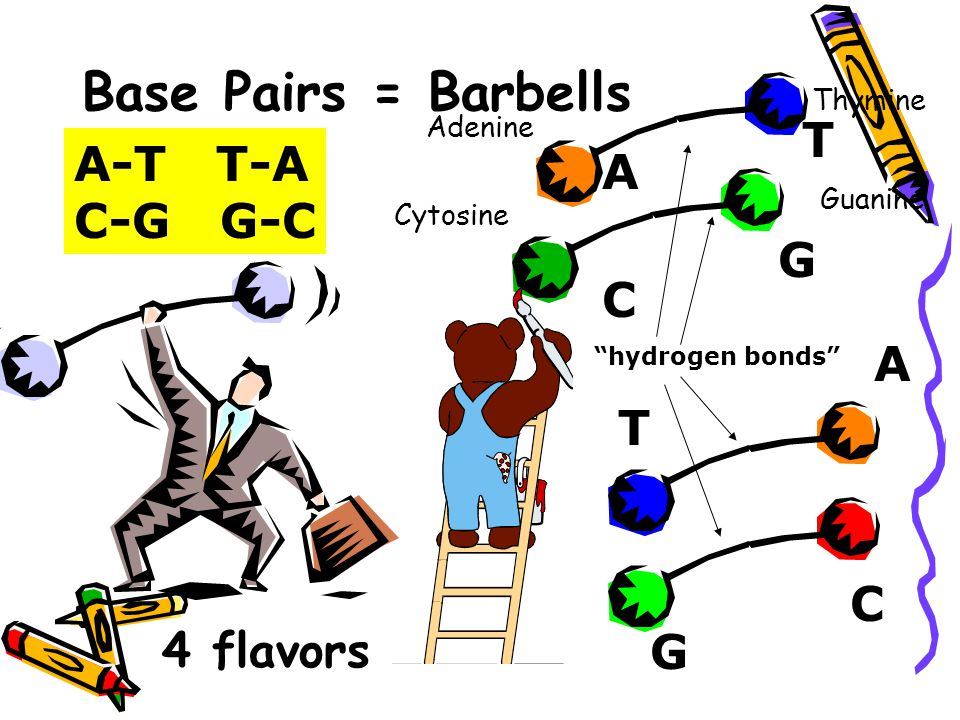 Base Pairs = Barbells Adenine Thymine Guanine Cytosine A T C G A T G C A-T T-A C-G G-C hydrogen bonds 4 flavors