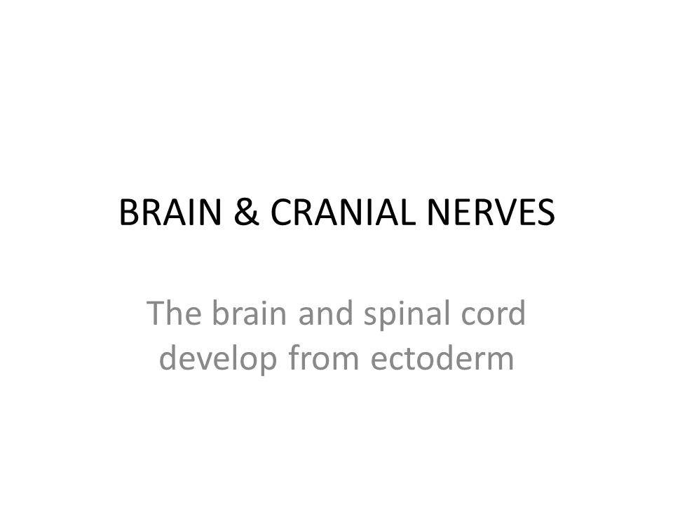 BRAIN & CRANIAL NERVES The brain and spinal cord develop from ectoderm