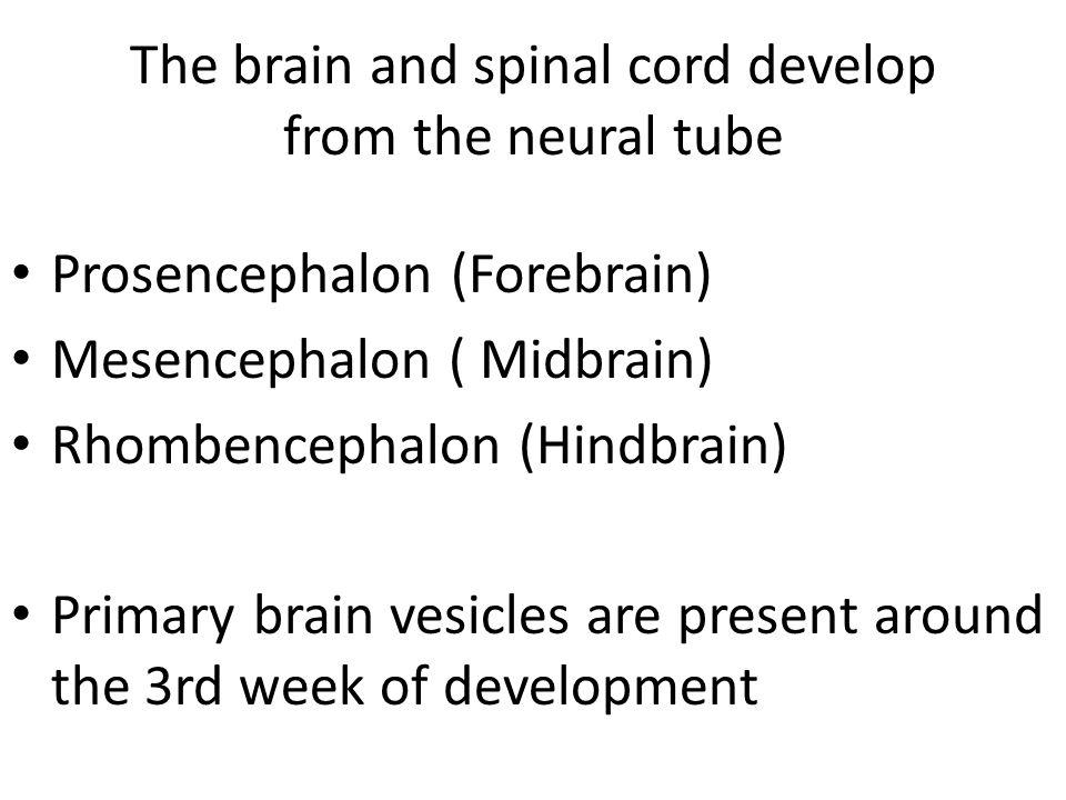 Prosencephalon (forebrain) Differentiates in 5 th week into: Telencephalon – cerebral hemispheres Diencephalon – thalamus; hypothalamus – pineal gland