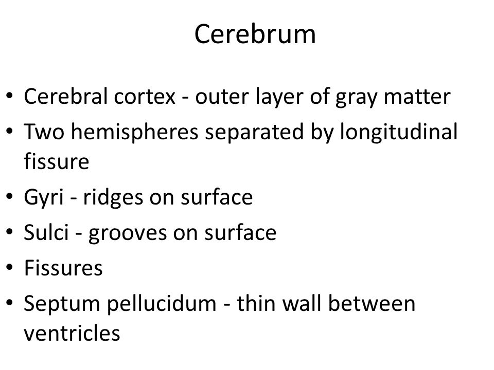 Cerebrum Cerebral cortex - outer layer of gray matter Two hemispheres separated by longitudinal fissure Gyri - ridges on surface Sulci - grooves on su