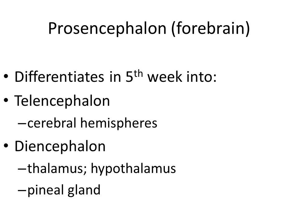 Midbrain Mesencephalon remains the same Brainstem = midbrain