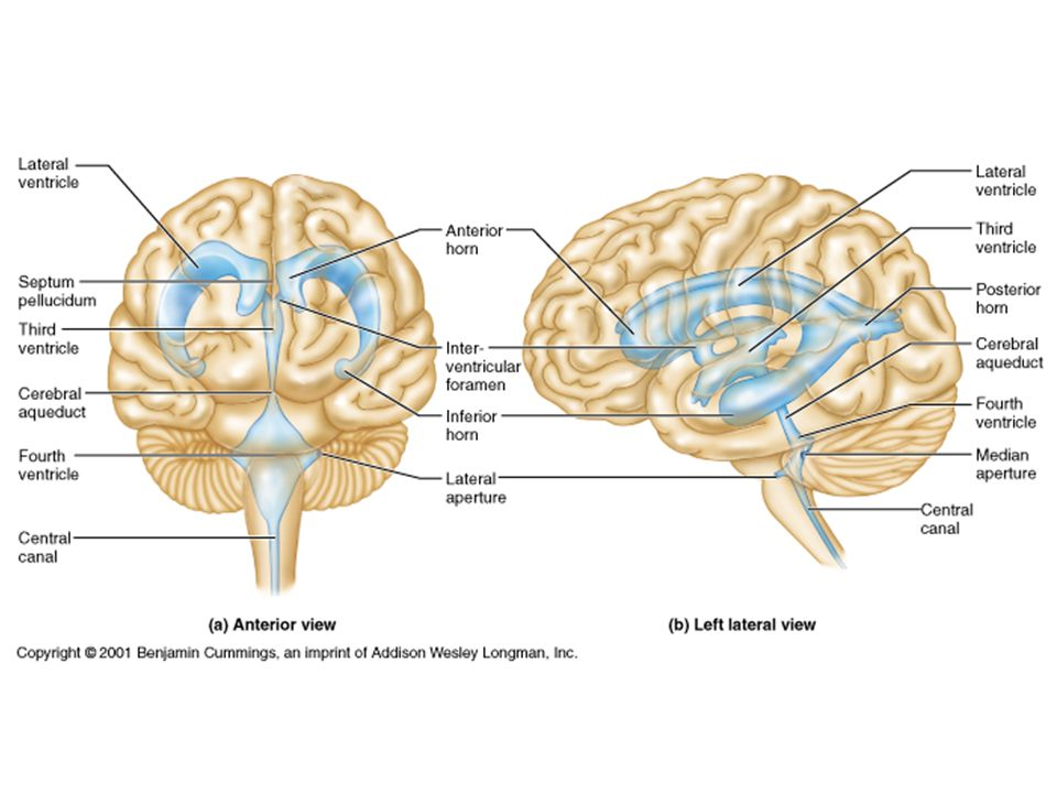 Association Areas Prefrontal Cortex – intellect, learning, & personality Language Areas – Wernicke's area – sounding out new words – Brocas's area – speech General Interpretation Visceral Interpretation