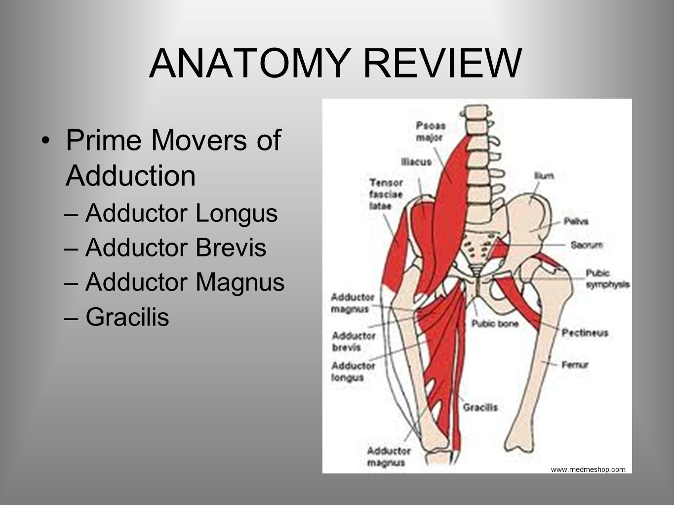 ANATOMY REVIEW Prime Movers of Adduction –Adductor Longus –Adductor Brevis –Adductor Magnus –Gracilis www.medmeshop.com