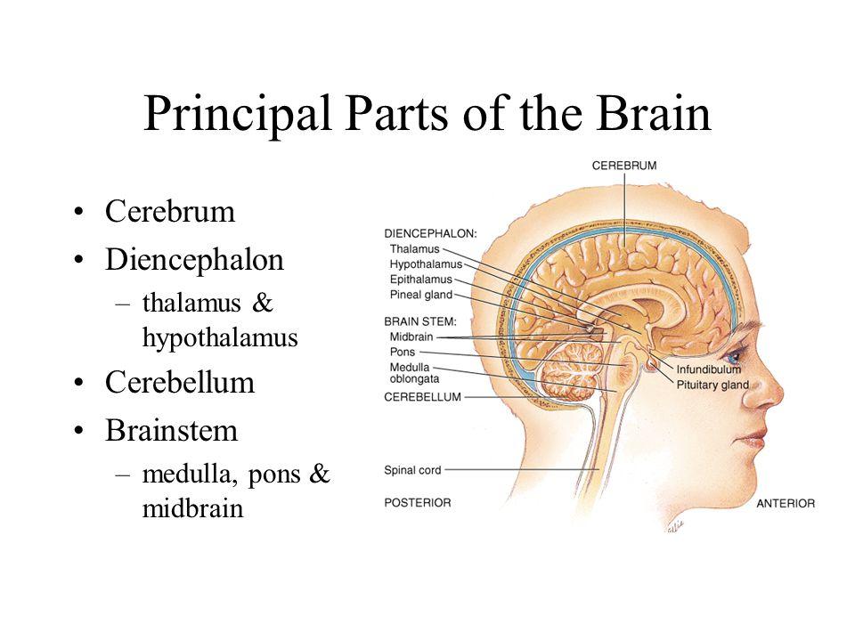 Principal Parts of the Brain Cerebrum Diencephalon –thalamus & hypothalamus Cerebellum Brainstem –medulla, pons & midbrain