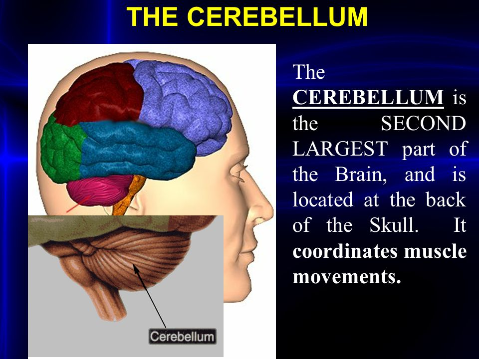THE CEREBELLUM The CEREBELLUM is the SECOND LARGEST part of the Brain, and is located at the back of the Skull. It coordinates muscle movements.