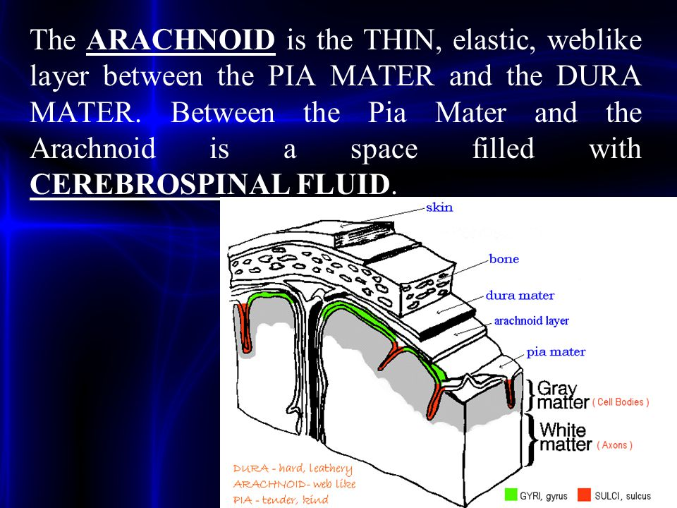 The ARACHNOID is the THIN, elastic, weblike layer between the PIA MATER and the DURA MATER. Between the Pia Mater and the Arachnoid is a space filled