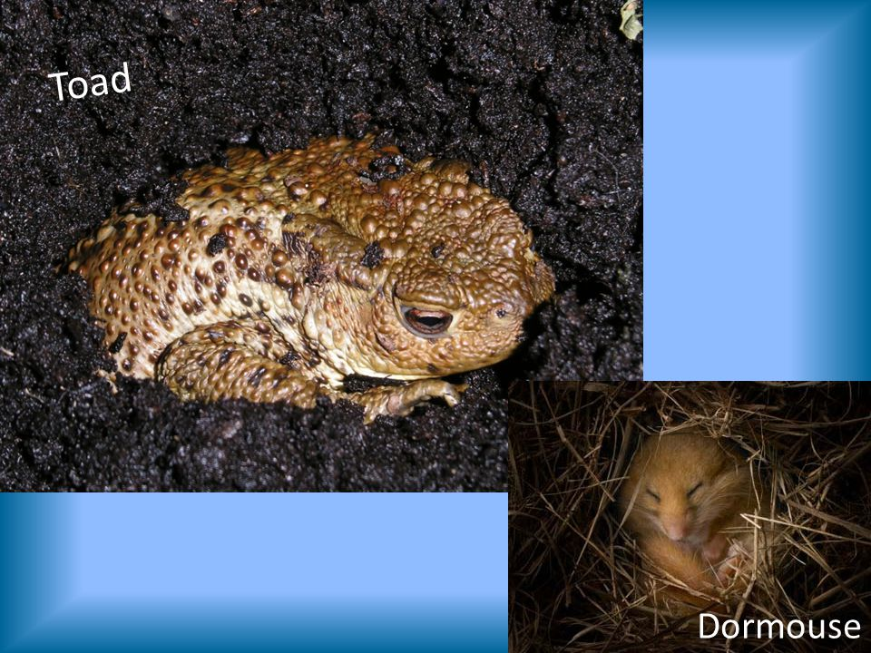 Toad Dormouse