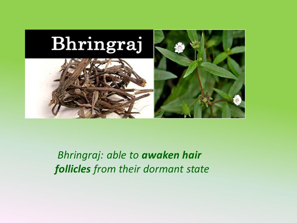 Bhringraj: able to awaken hair follicles from their dormant state