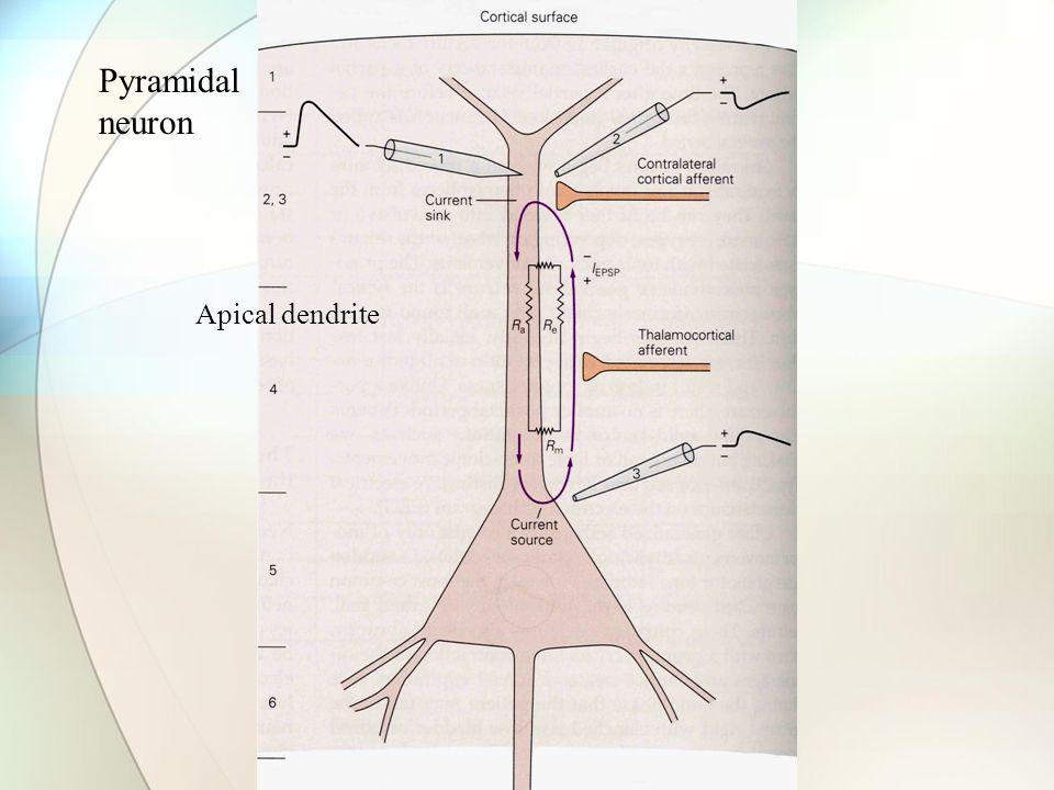 Pyramidal neuron Apical dendrite