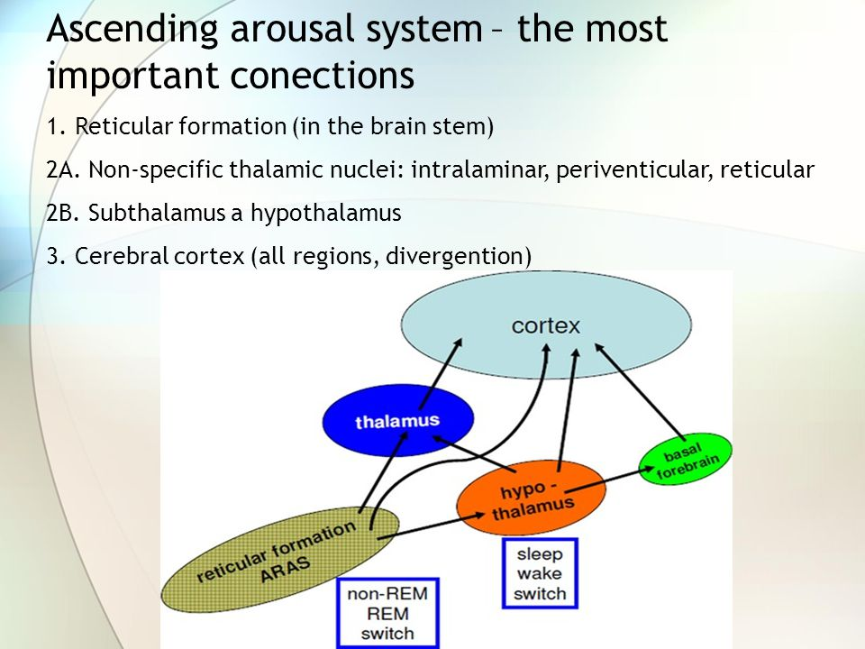 Ascending arousal system – the most important conections 1.
