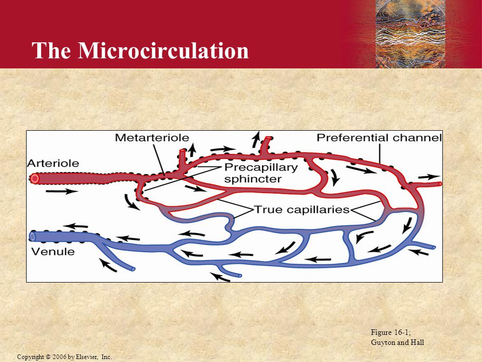 Copyright © 2006 by Elsevier, Inc. The Microcirculation Figure 16-1; Guyton and Hall