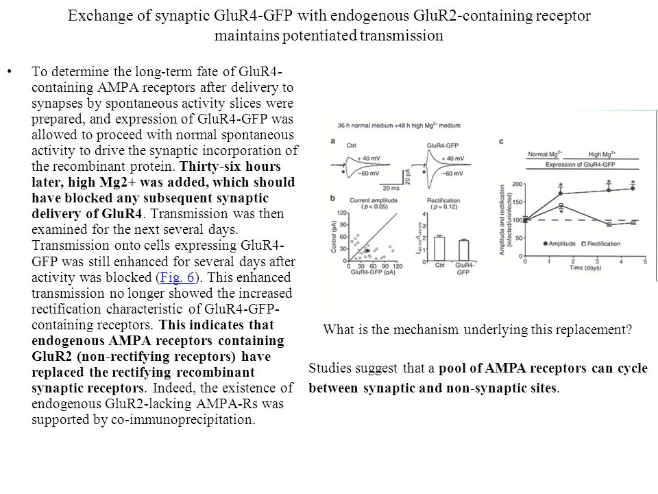 Exchange of synaptic GluR4-GFP with endogenous GluR2-containing receptor maintains potentiated transmission To determine the long-term fate of GluR4- containing AMPA receptors after delivery to synapses by spontaneous activity slices were prepared, and expression of GluR4-GFP was allowed to proceed with normal spontaneous activity to drive the synaptic incorporation of the recombinant protein.