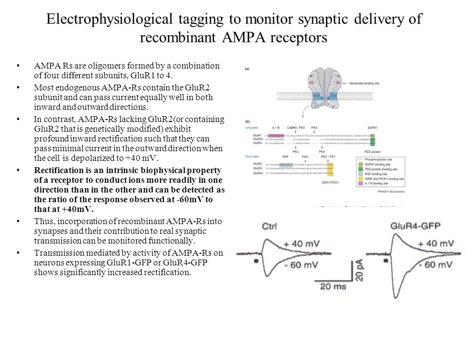 Electrophysiological tagging to monitor synaptic delivery of recombinant AMPA receptors AMPA Rs are oligomers formed by a combination of four different subunits, GluR1 to 4.