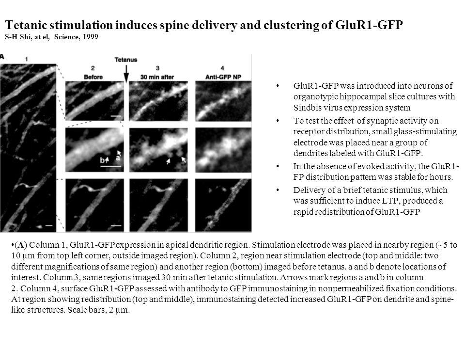 NMDA receptor antagonist reversibly blocks tetanus-induced redistribution of GluR1-GFP.