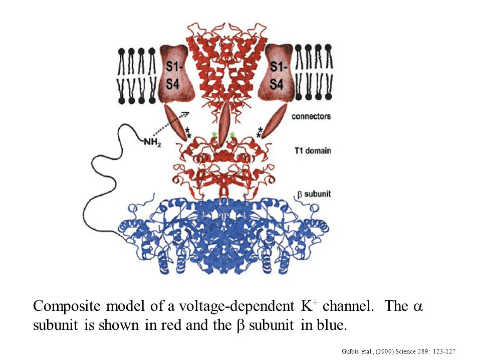 Gulbis etal., (2000) Science 289: 123-127 Composite model of a voltage-dependent K + channel.