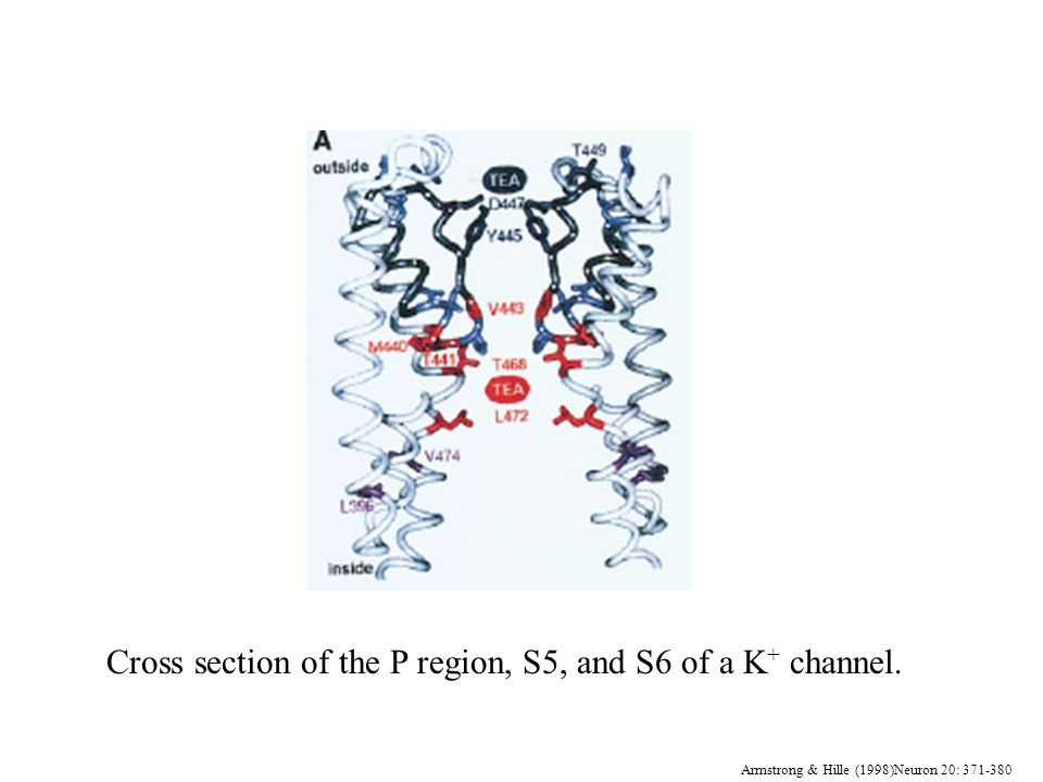 Armstrong & Hille (1998)Neuron 20: 371-380 Cross section of the P region, S5, and S6 of a K + channel.