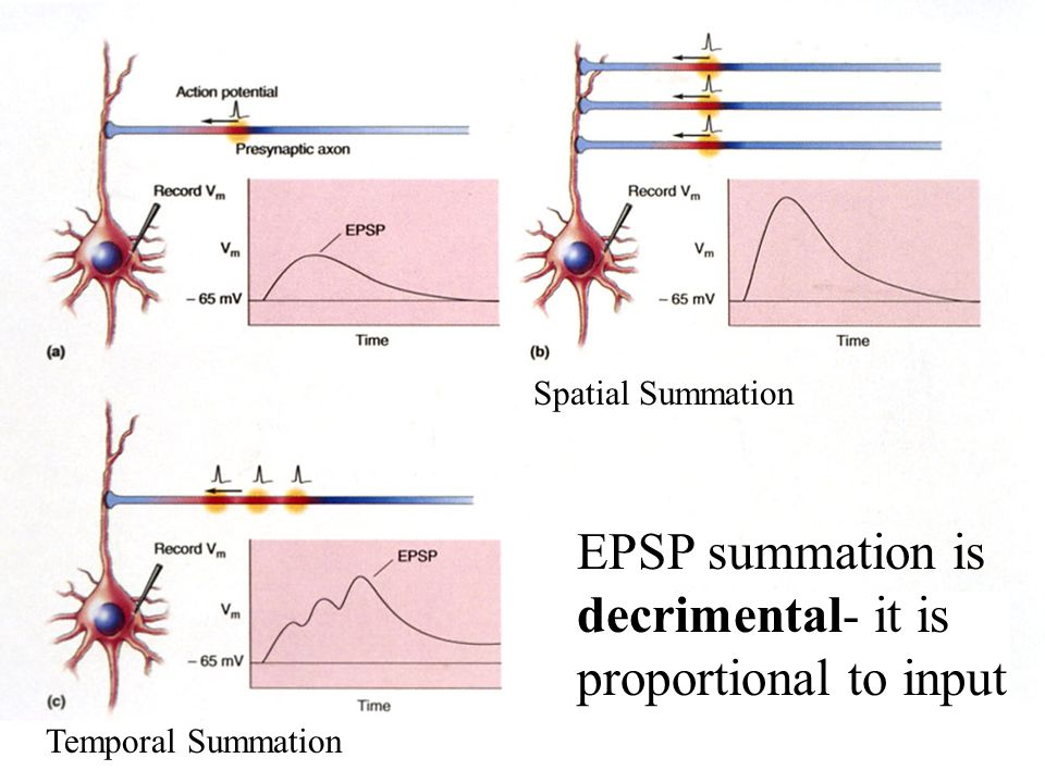 EPSP summation is decrimental- it is proportional to input Spatial Summation Temporal Summation