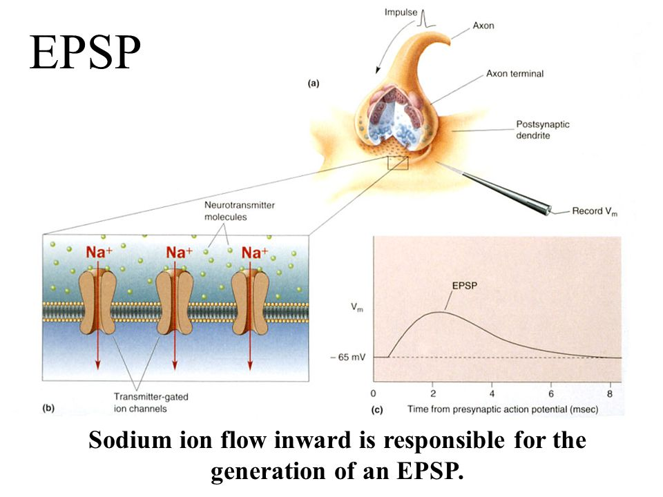 Sodium ion flow inward is responsible for the generation of an EPSP. EPSP